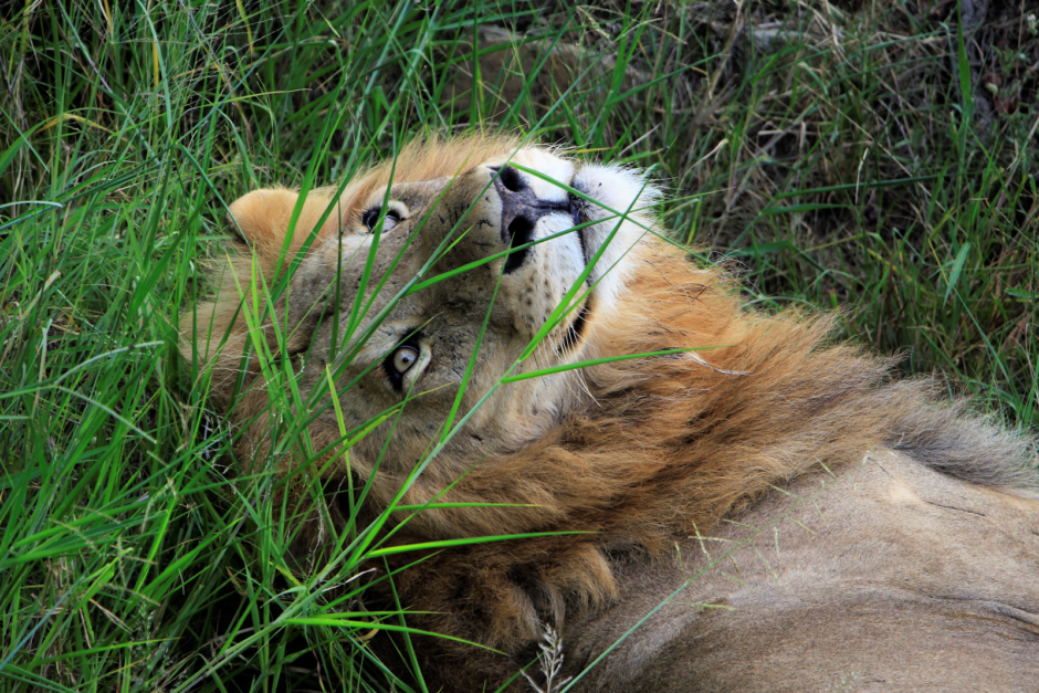 Lion relaxing in high grass