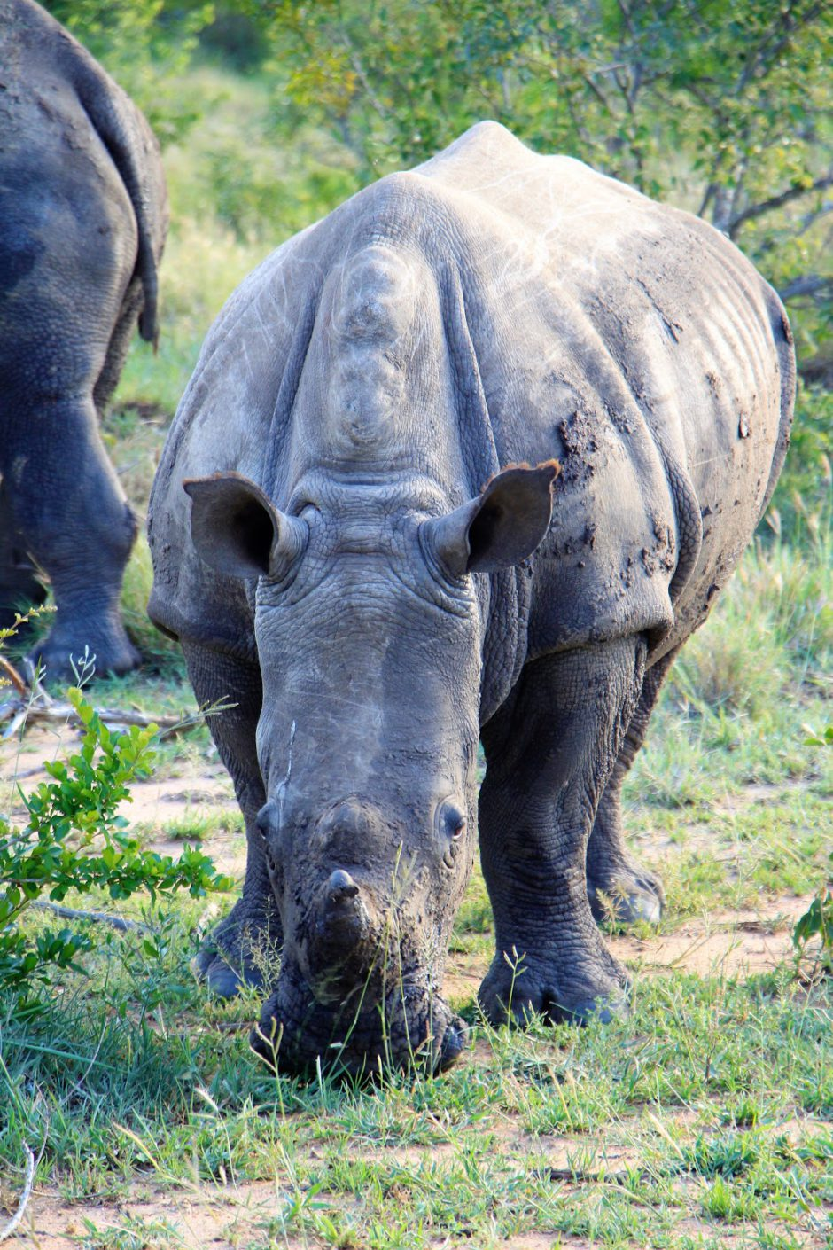 White rhino spotted in Thornybush Game Reserve