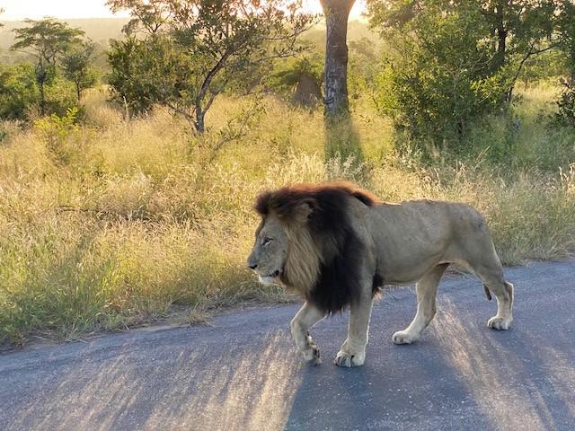Ein Löwe mit beeindruckender Mähne im Krüger Nationalpark