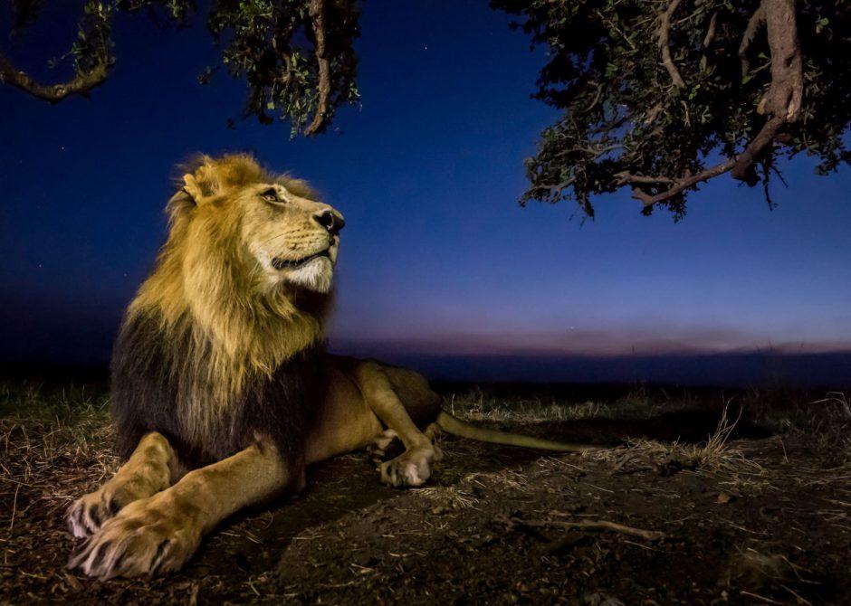 lion-at-night-by-Arnfinn-Johansen-apoty