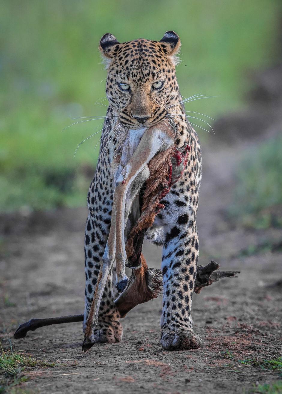 leopard-with-kill-Lakshitha-Karunarathna