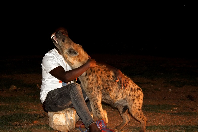 Hyena fed by man in Ethiopia