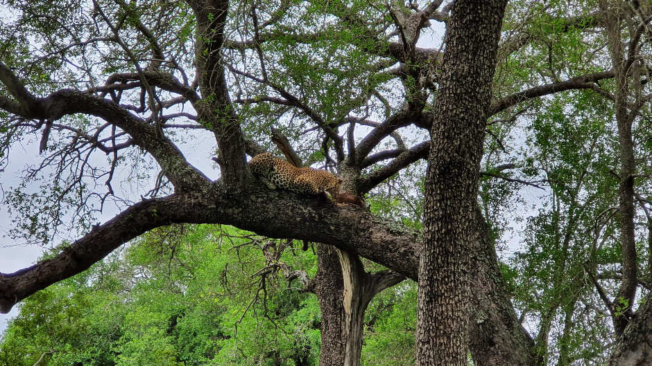 Male leopard in a tree eating the impala he killed at Londolozi Private Game Reserve