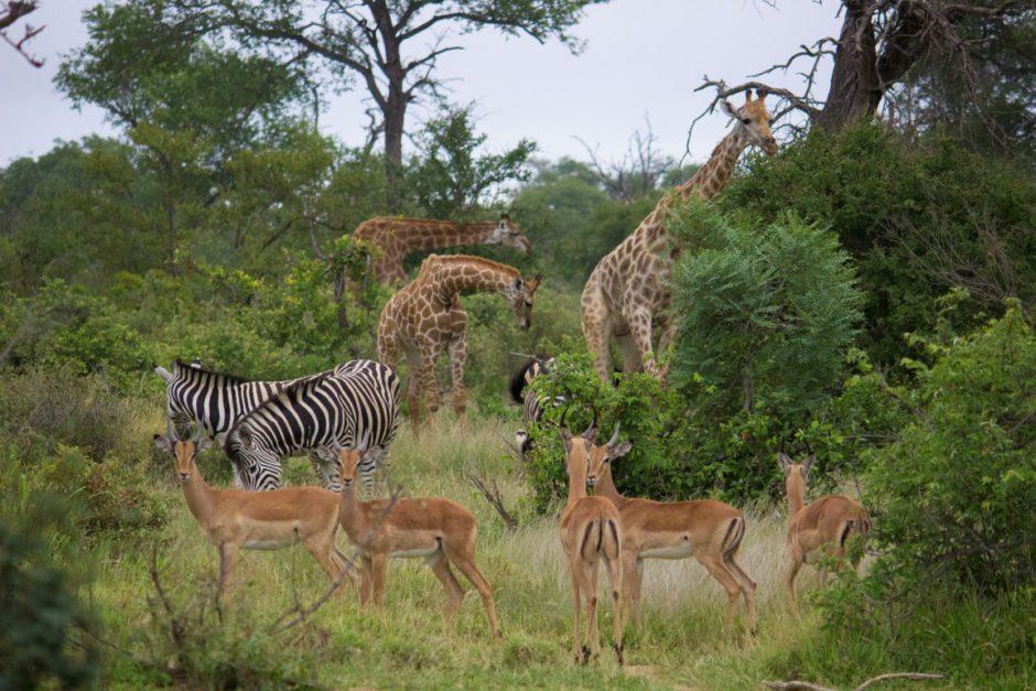Beeindruckende Tiersichtungen auf Pirschfahrt mit der Senalala Safari Lodge im Klaserie Game Reserve