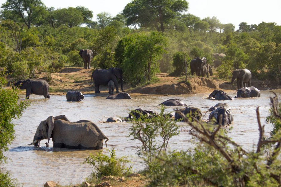 Große Elefantenherde an einem See im Thornybush Nature Reserve