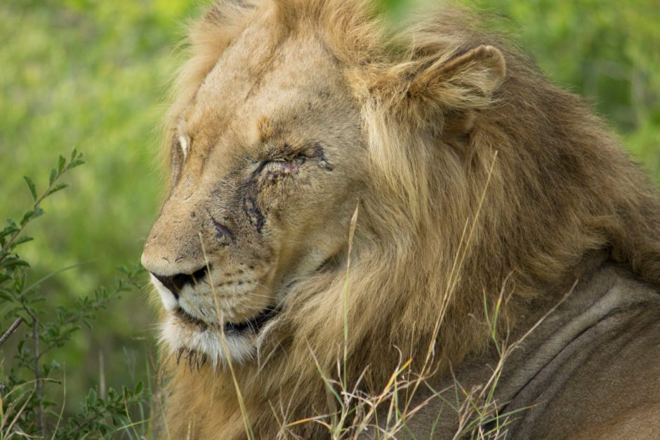 Ein männlicher Löwe mit Narbe im Gesicht nahe der Thornybush Game Lodge