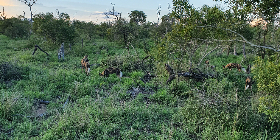 African wild dogs at Londolozi Private Game Reserve