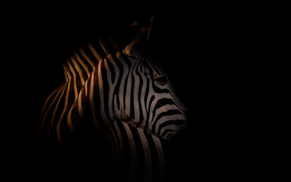 zebra-in-darkness