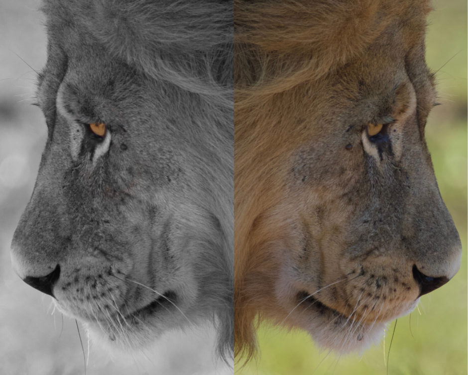 lion-edit-phone-photography
