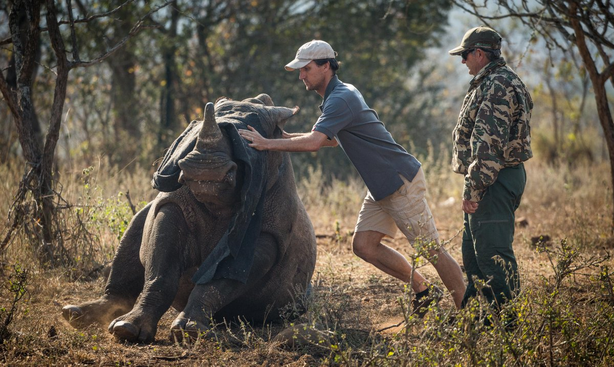 moving a rhino during a rhino dehorning expedition
