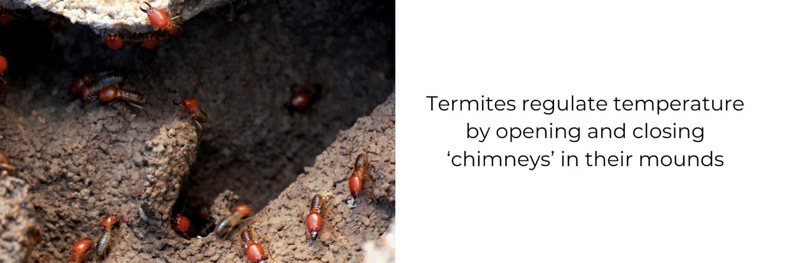 Fun fact about termites