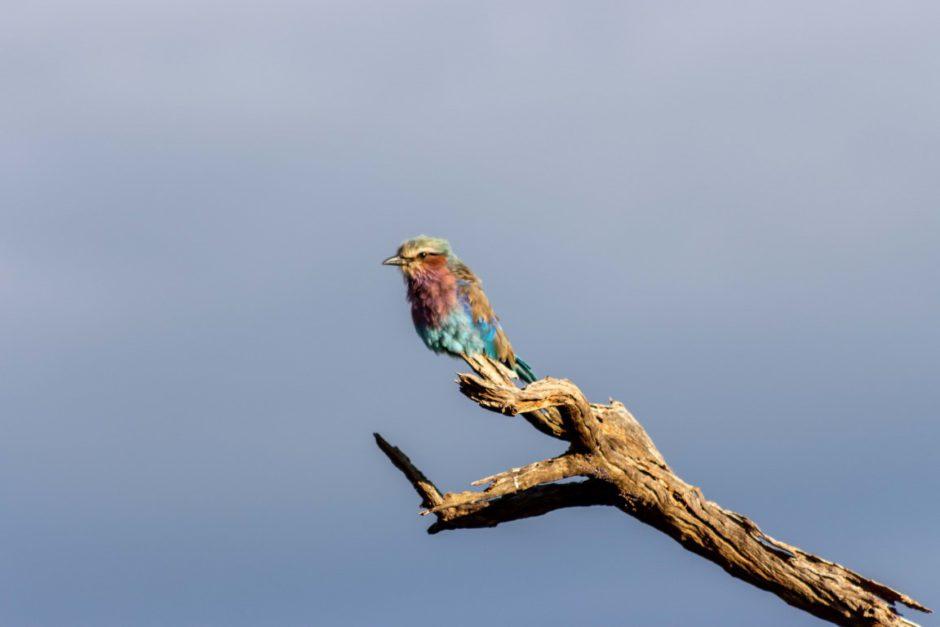 Colourful bird sighting on game drive with Tuningi Safari Lodge