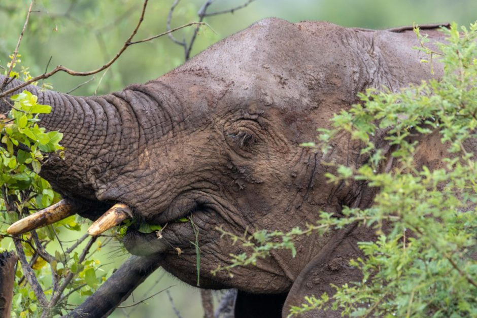 Elephant sighting in Madikwe Game Reserve