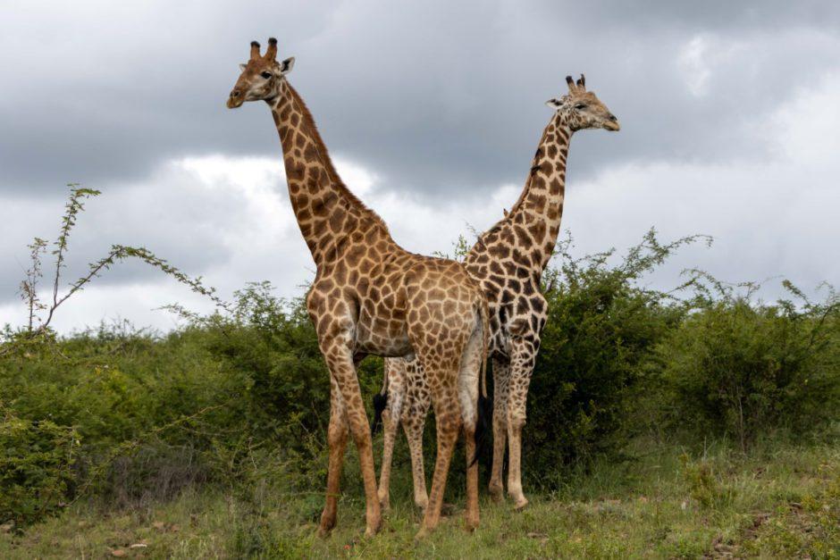 Giraffe sighting on game drive with Tuningi Safari Lodge in Madikwe