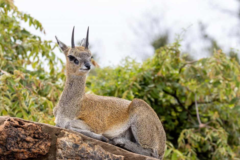 Klipspringer at Tuningi Safari Lodge