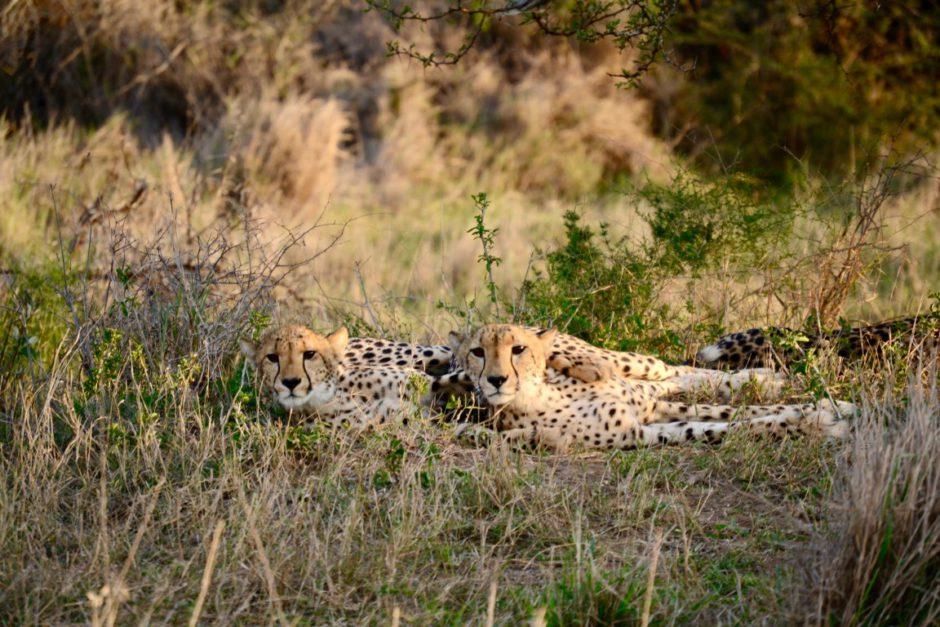 Telle mère, telle fille, deux guépards au KwaZulu-Natal