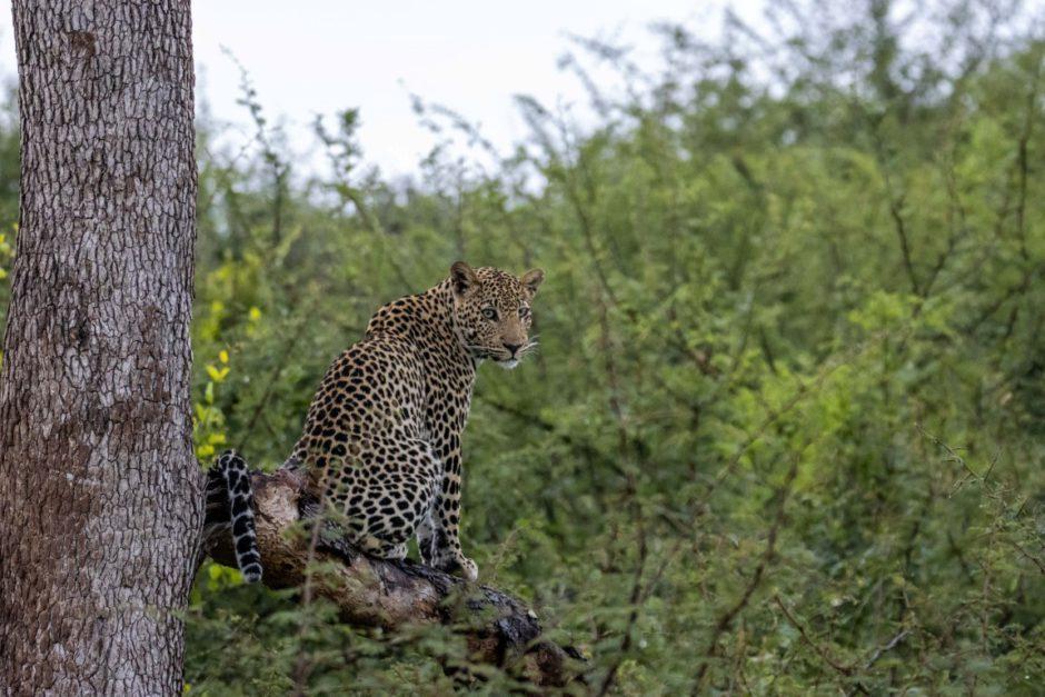 Leopard sits on a tree near Motswiri Private Safari Lodge