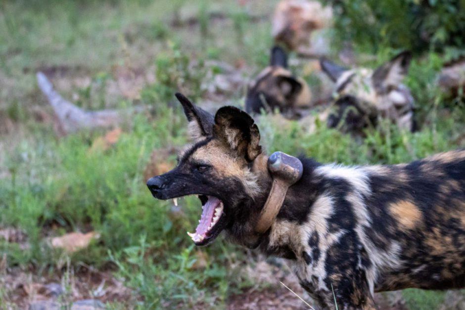Wild dog with collar near Motswiri Private Safari Lodge in Madikwe