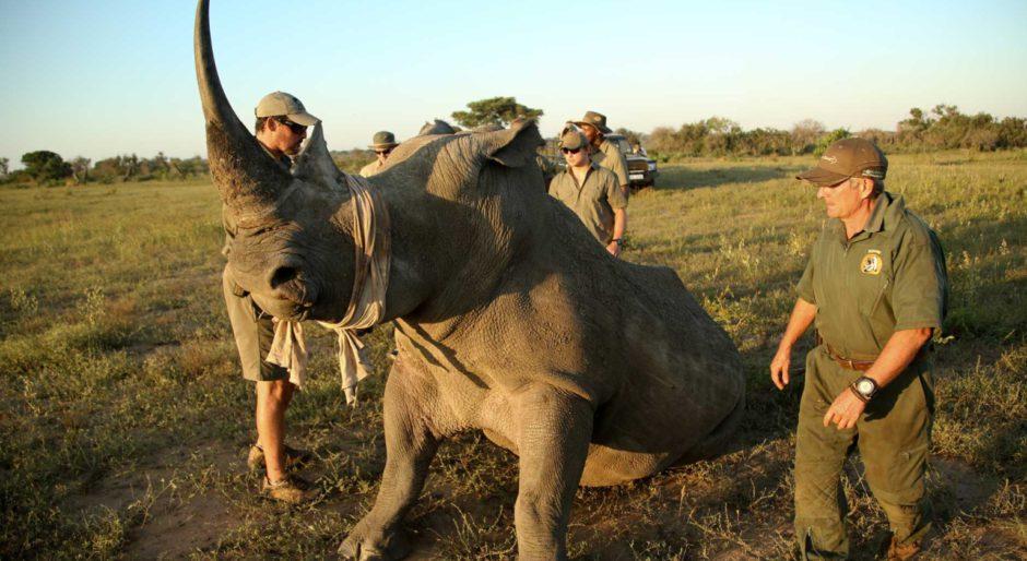 Écornage de rhinocéro au réserve privée de Phinda