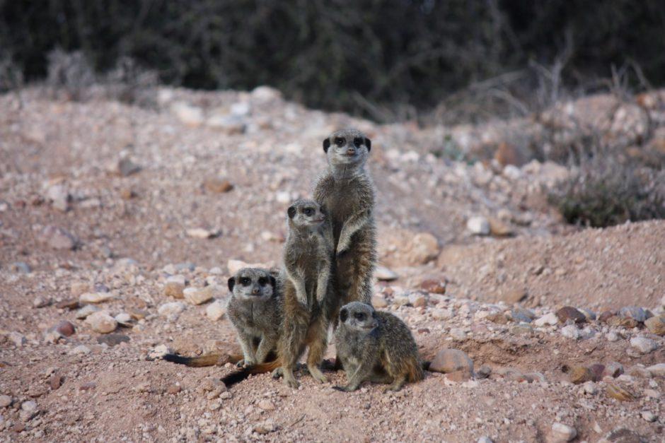 Erdmännchen beobachten in Südafrika: Die Tiere kommen neugierig aus ihrem Versteck