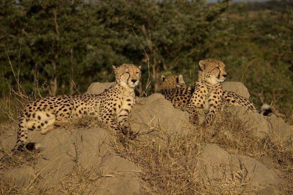 Geparden-Sichtung nahe der Dulini River Lodge
