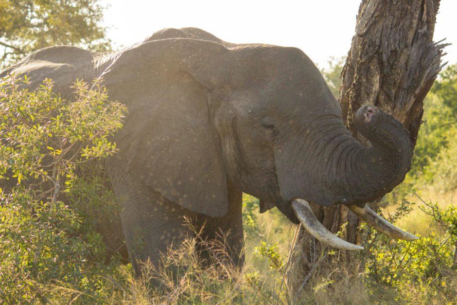 Ein Elefant mit einem kurzen Rüssel - auf einer Pirschfahrt der Dulini River Lodge