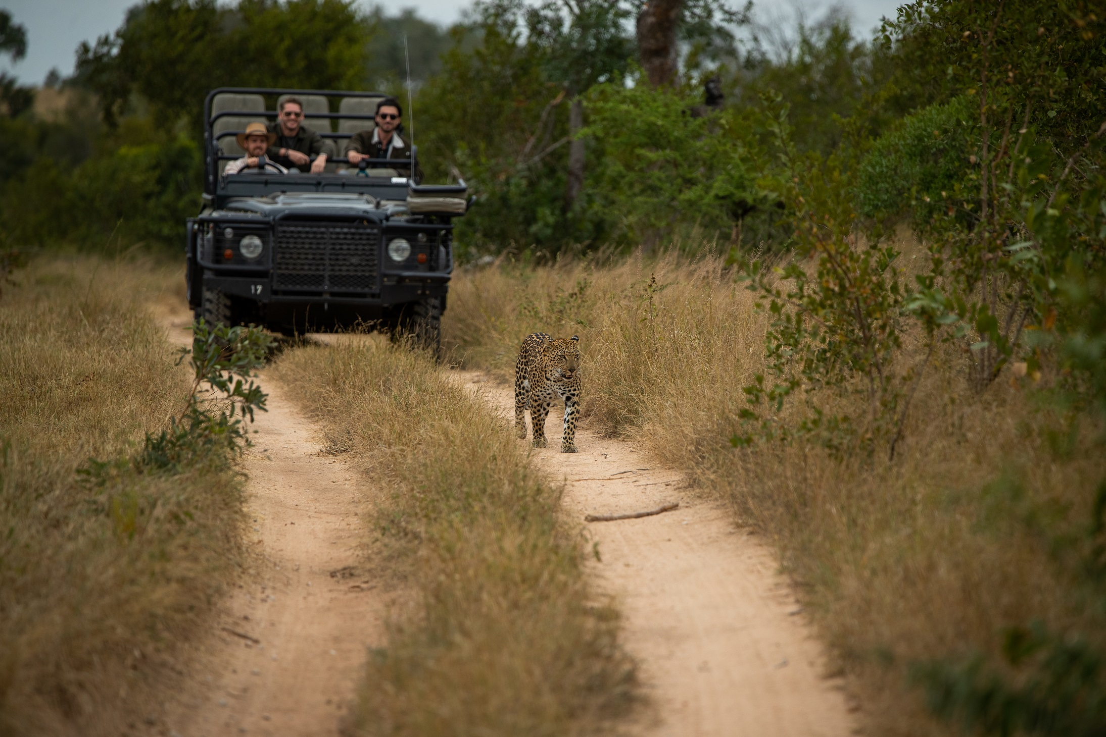 Leopard walking in front of a game vehicle on safari at Londolozi