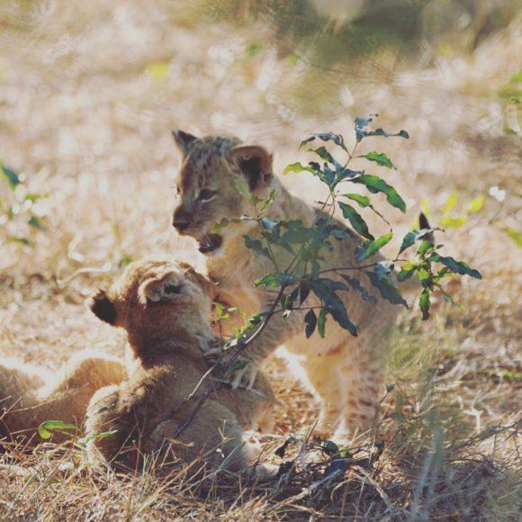 silvan-lion-cubs-partty