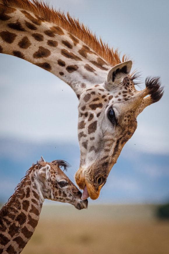 giraffe-kiss
