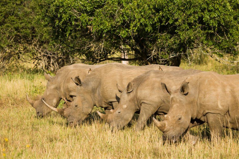 rhino-ridge-safari-lodge-hluhluwe-rhinos