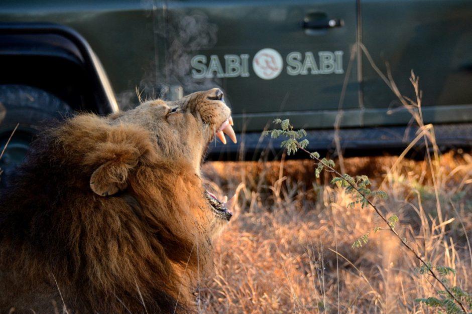 Löwe vor einem Safarifahrzeug der Sabi Sabi Earth Lodge