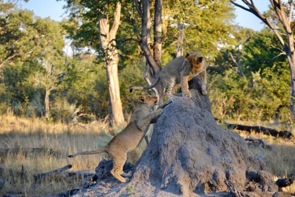 African Bush Camps: La vie animale abonde dans la réserve de Moremi