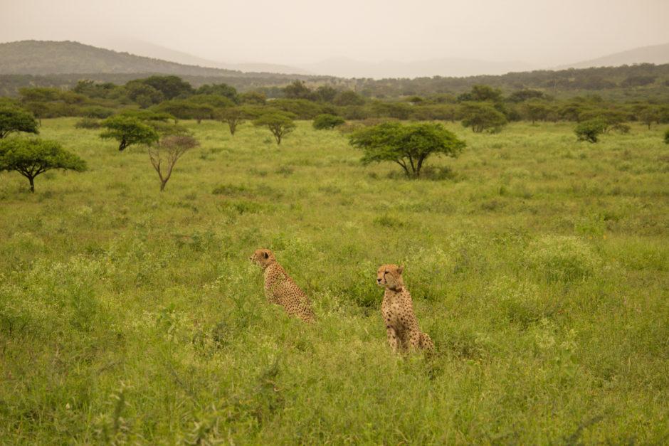 Cheetahs near Thanda Safari Lodge in KwaZulu-Natal