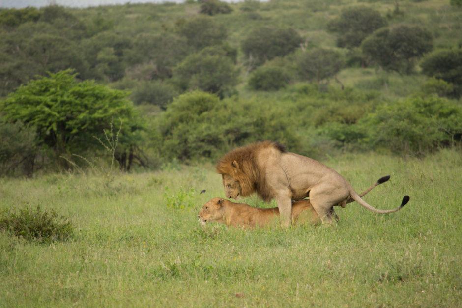 Löwen bei der Paarung im privaten Reservat Thanda Safari in KwaZulu-Natal