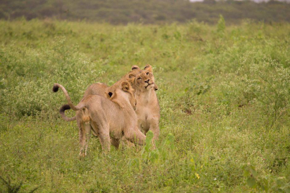 Niedliche Löwenjungen spielen miteinander
