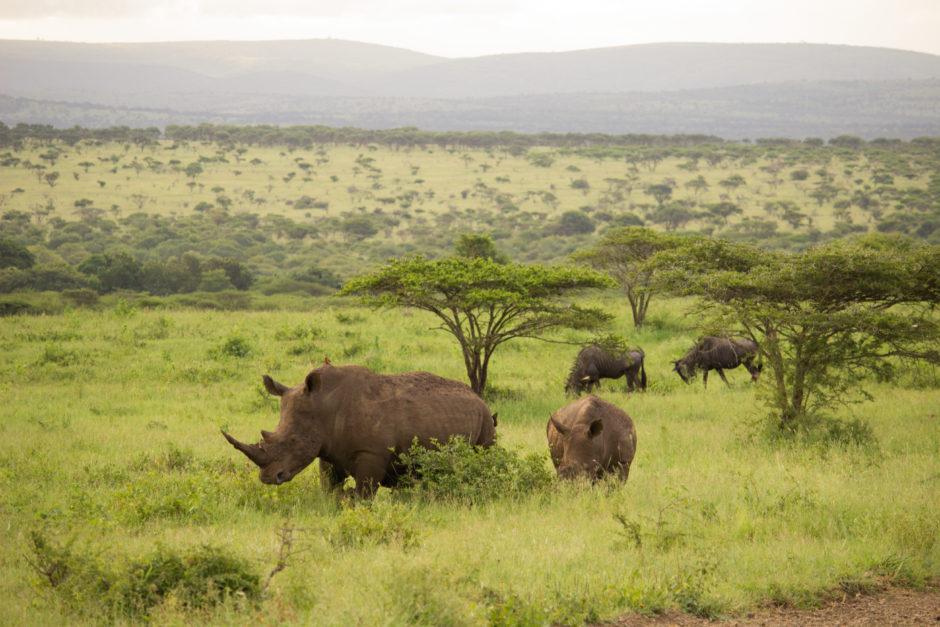 Nashörner in der Nähe der Thanda Safari Lodge in KwaZulu-Natal in Südafrika