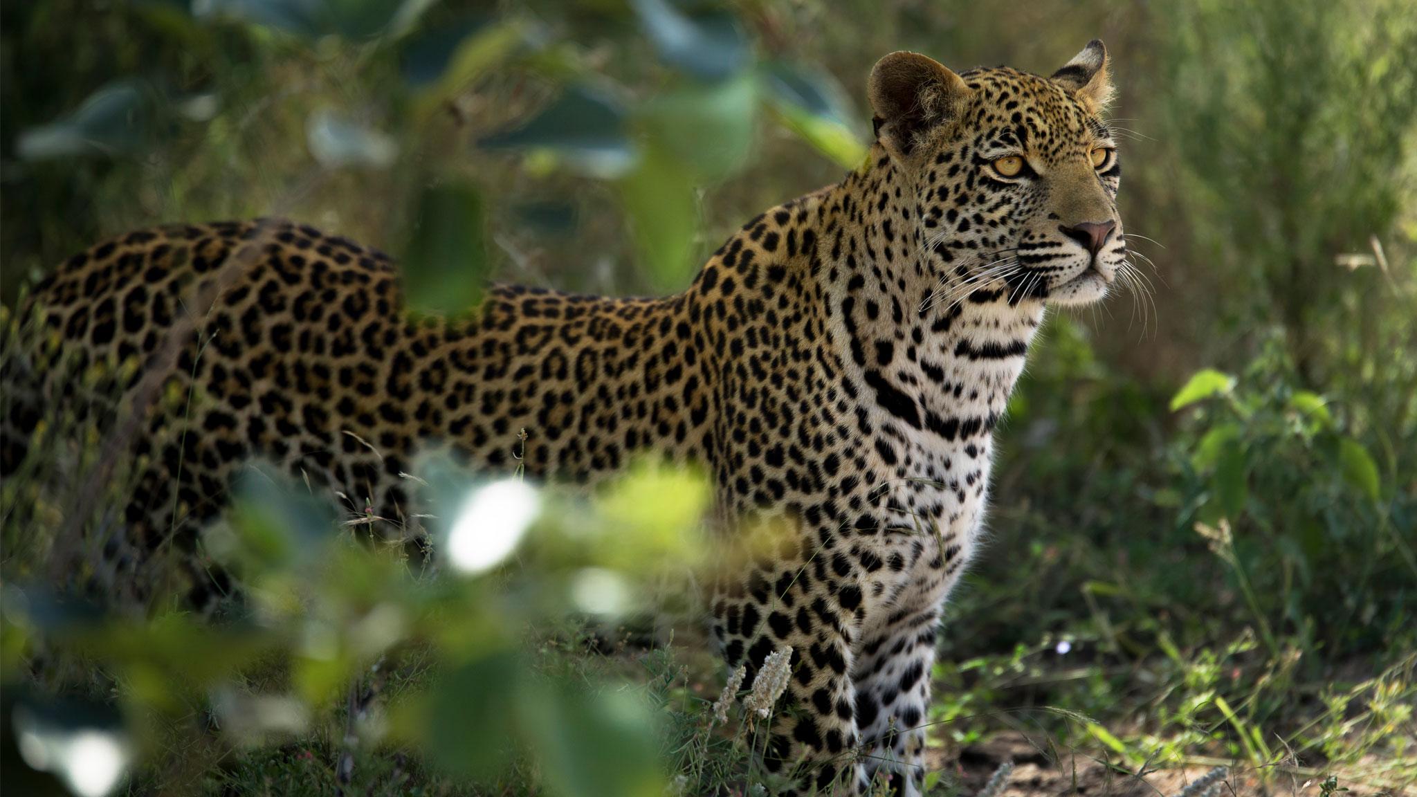 Leopard Thandi standing Sabi Sand