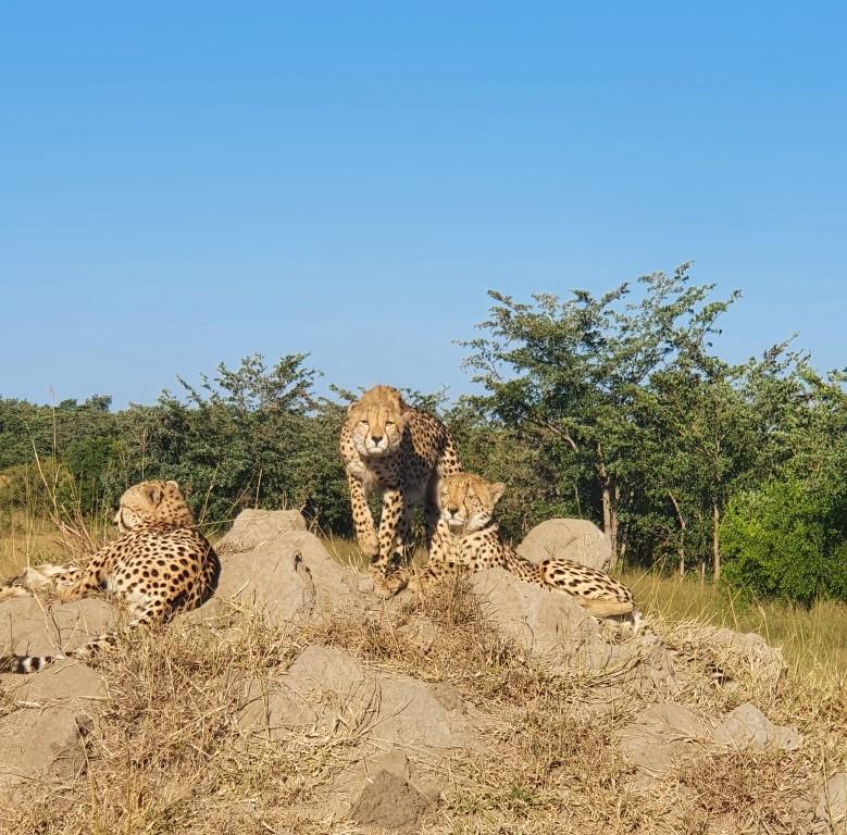 Amazing cheetah sighting near Dulini River Lodge