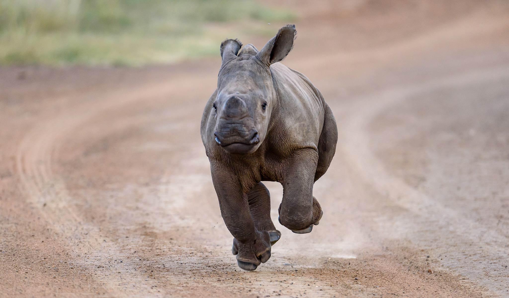 rhinos saving rhinos competition - baby rhino
