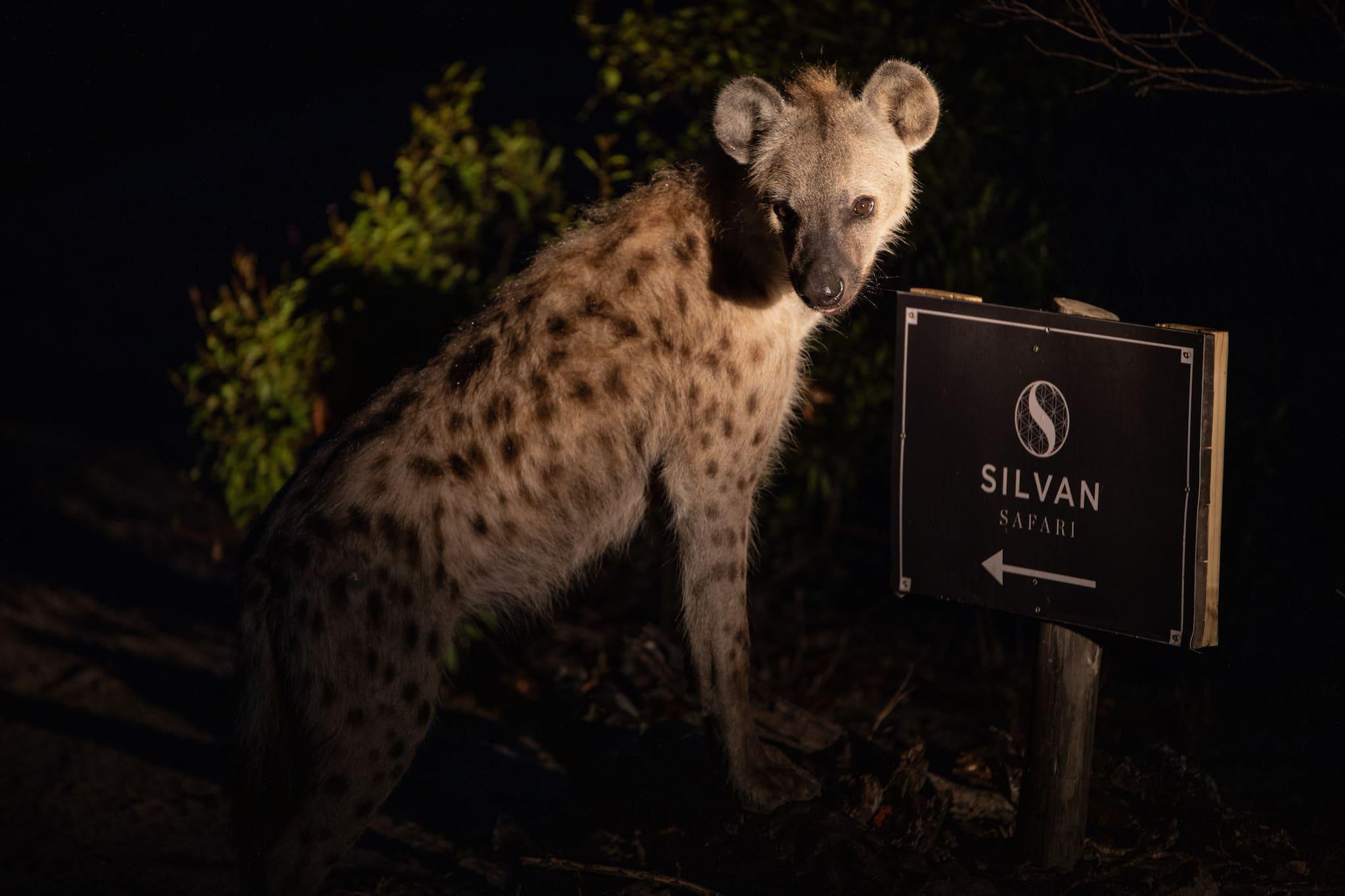 Hyena at night at Silvan Safari