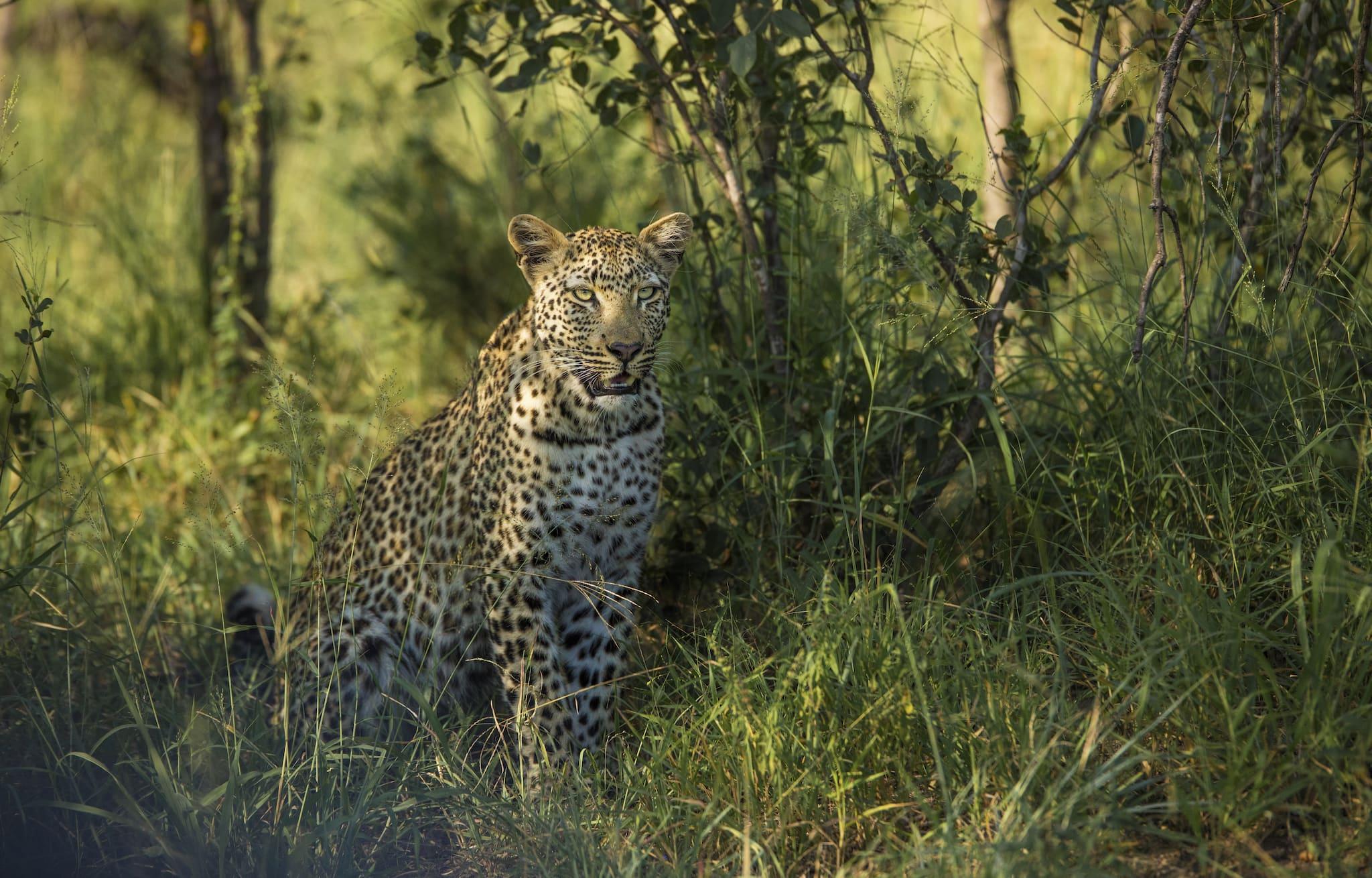 Hermoso leopardo en Silvan Safari