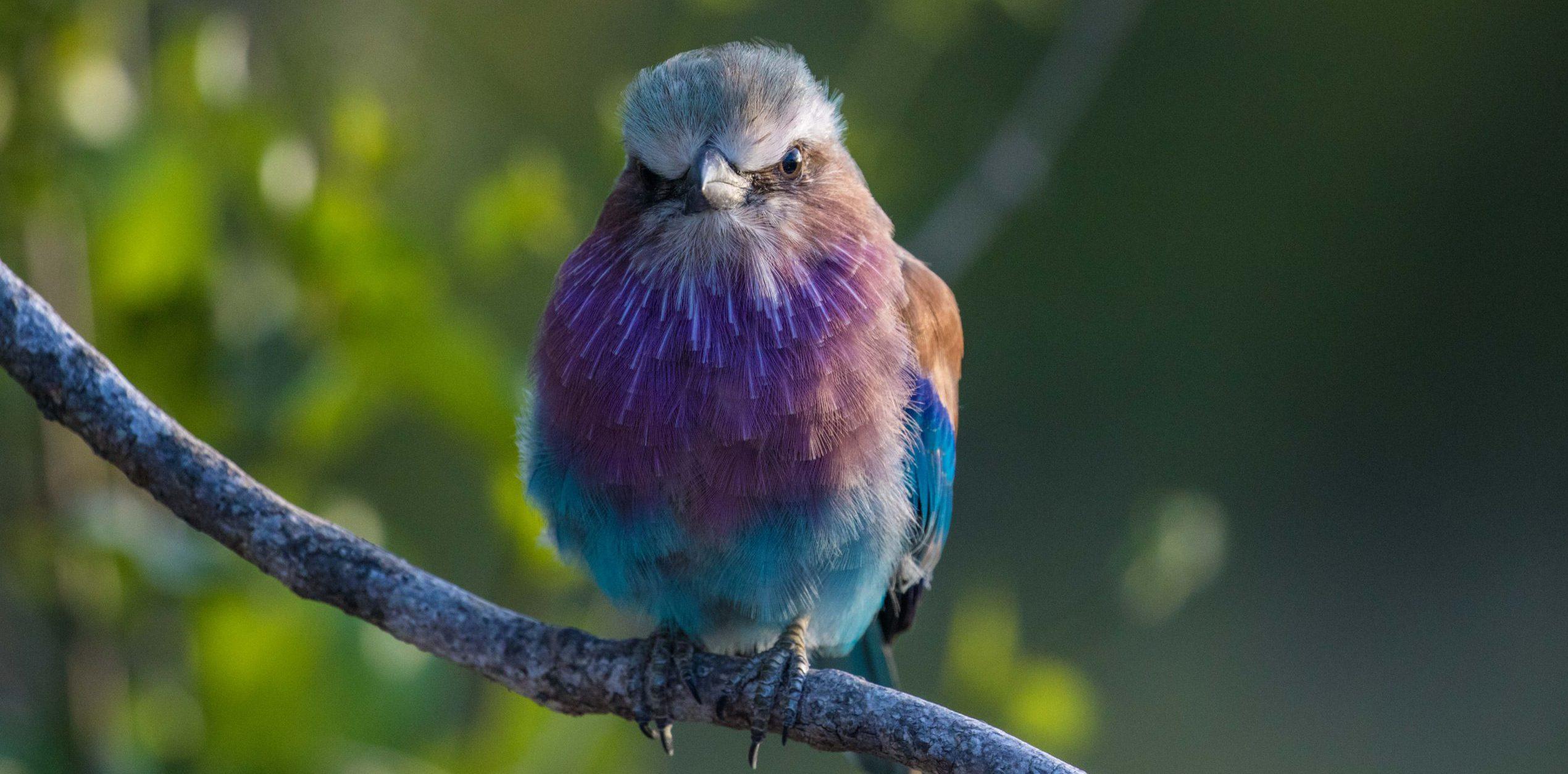 Silvan Birdlife Garza lila