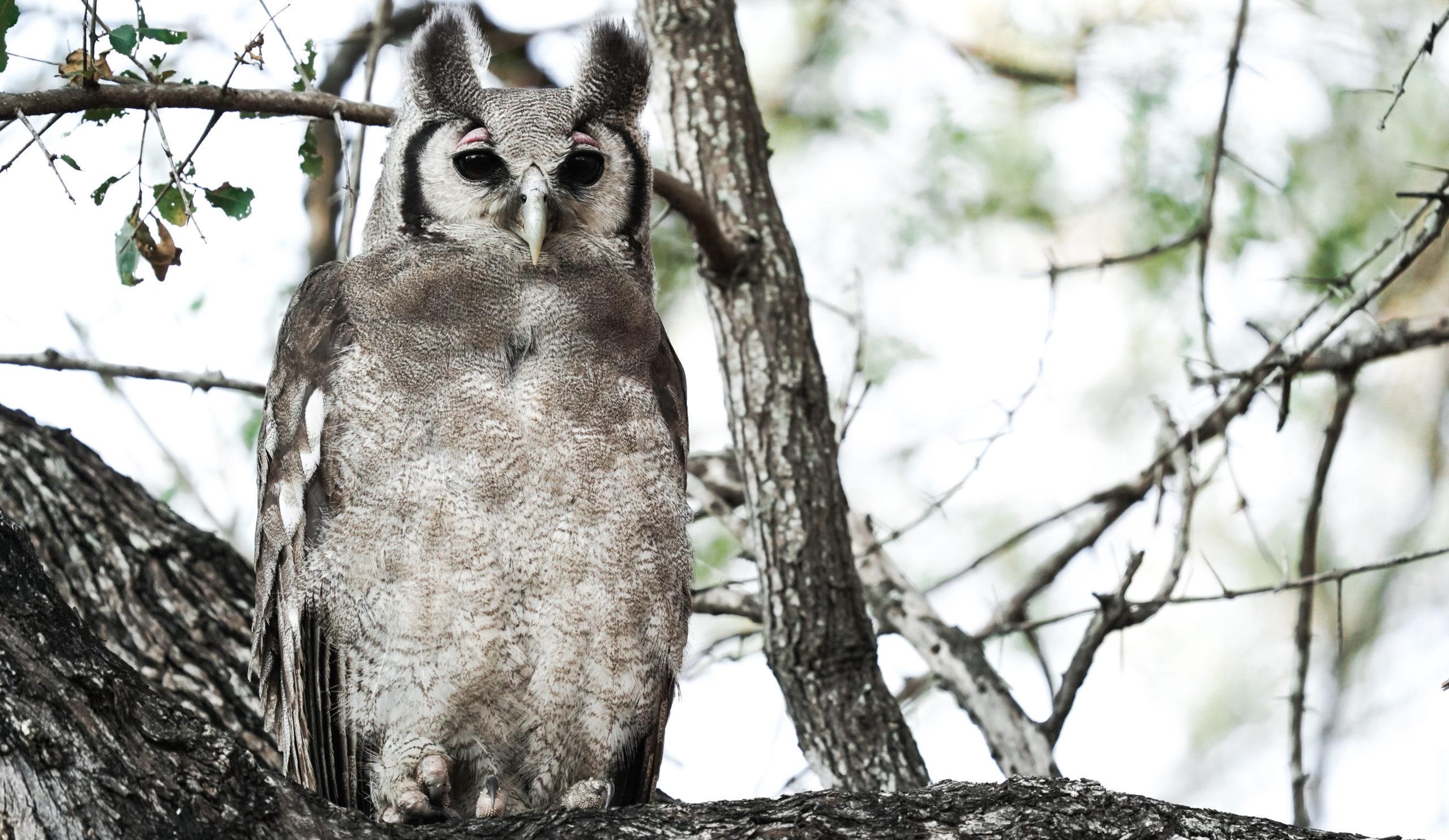 mundo de las aves silvanas verreauxs uhu