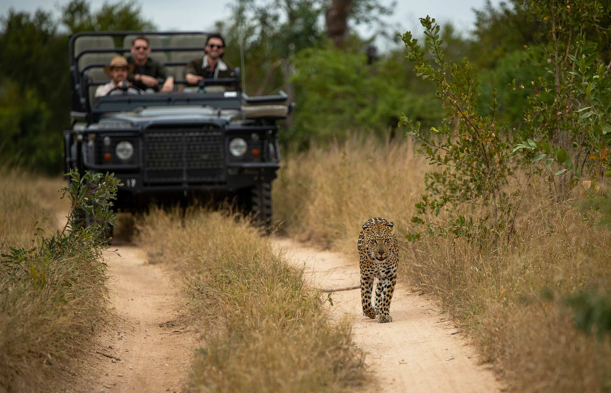 leopard walking in front of a safari game drive vehicle