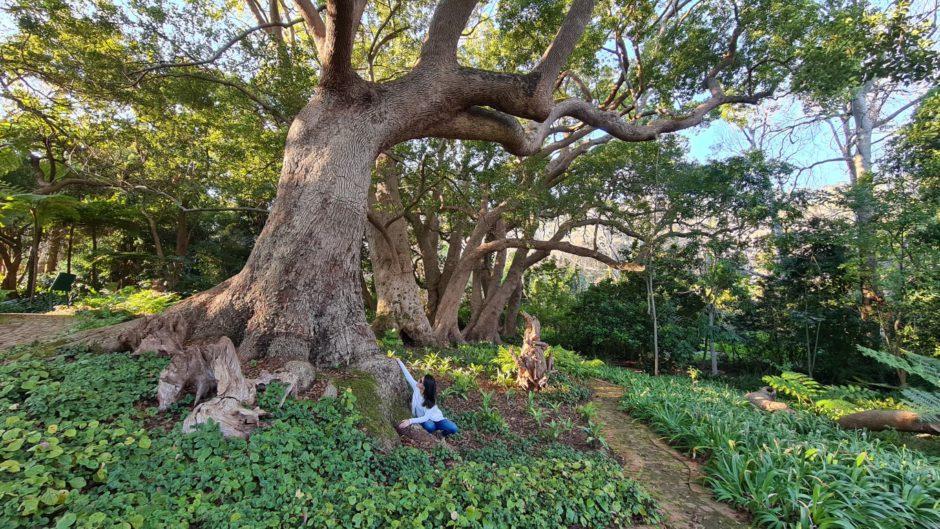 Com mais de 250 anos, essa é a segunda árvore Camphor mais antiga da África do Sul