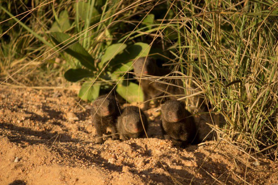 Dwarf mongooses near Inyati Game Lodge in the Sabi Sand Game Reserve