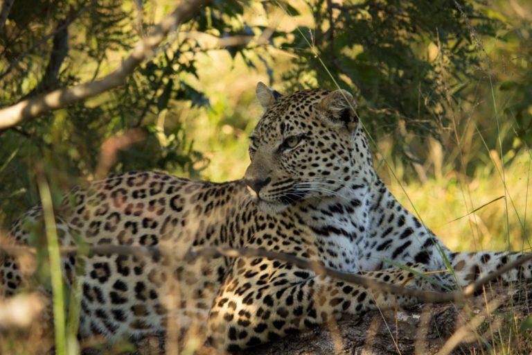 A classic safari at Inyati Game Lodge