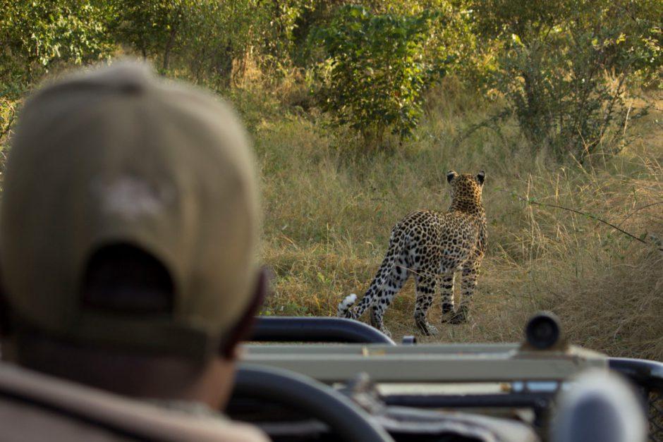 George folgt einer Leopardin durch den südafrikanischen Busch