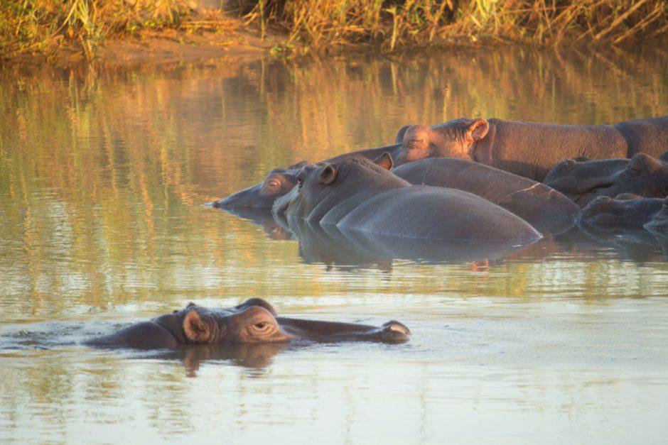Flusspferde im Sand River bei der Inyati Game Lodge