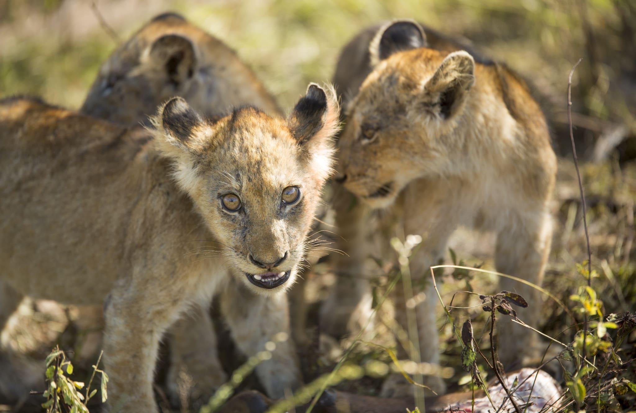 Cachorros de león en Silvan Safari en verano